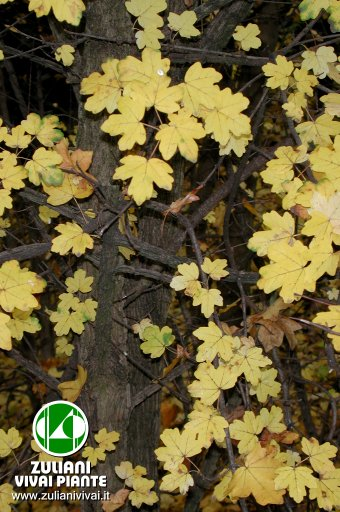 Foto Acer Campestre In Autunno