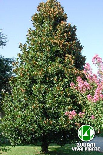 Foto magnolia grandiflora for Magnolia pianta prezzi
