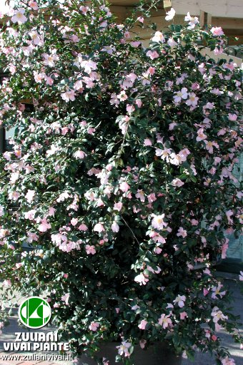Index of images catalogo arbusti camellia for Pianta camelia