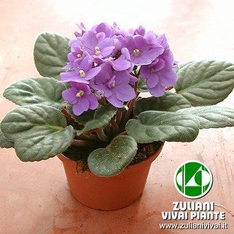 Foto saintpaulia violetta africana for Violetta africana